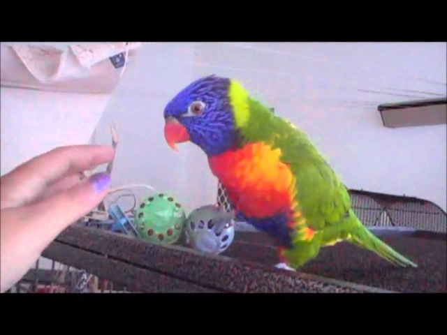 Talking Rainbow Lorikeet