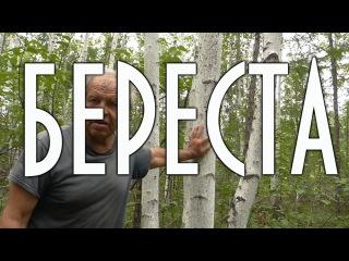 Как снять бересту и не навредить дереву.