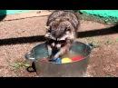 Raccoon Masha washing dishes