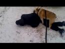 Собака насилует пьяного
