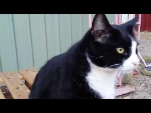 Прививка от кошачьего гриппа, ветклиника, отель для животных, кот-великан (veterinary, Australia)