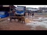Собачьи бои кане корсо vs кавказская овчарка