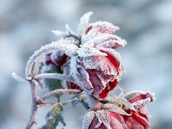 Цветы среди зимы картинки