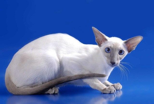 Характер, уход и питание ориентальной кошки