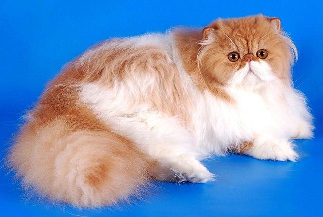 Характер, уход и питание персидской кошки