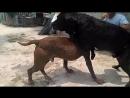 Собачьи бои китайские питбули