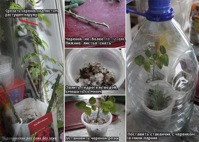 Черенкование роз из букета в домашних условиях зимой отзывы - Selivanov shina