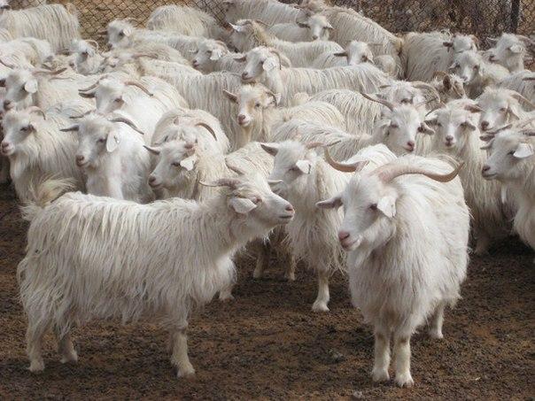 Küçükbaş Hayvancılığı Geliştirme Projesi Kapsamında Çiftçilere Keçi Dağıtıldı