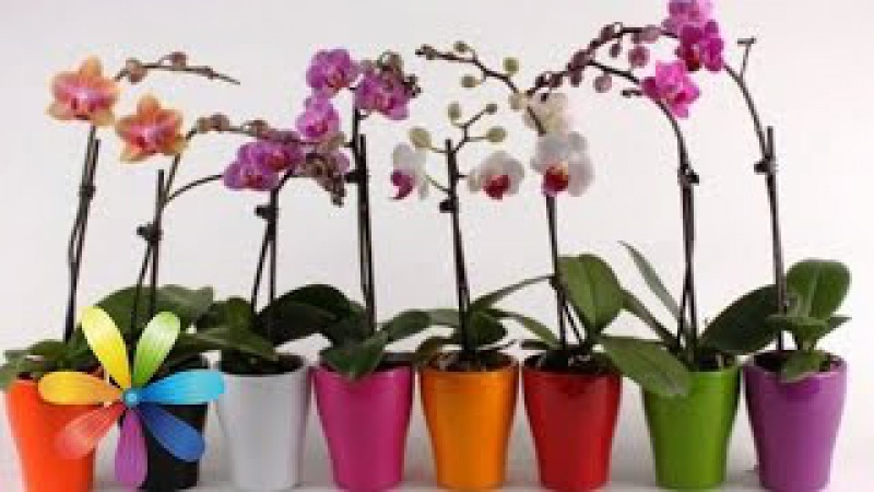 Как одну орхидею превратить в 100? - Все буде добре - Выпуск 569 - Всё будет хорошо 23.03.15