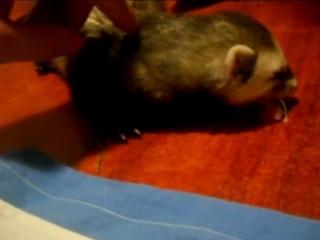 (ferrets playing) Кормление и содержание хорьков в домашних условиях