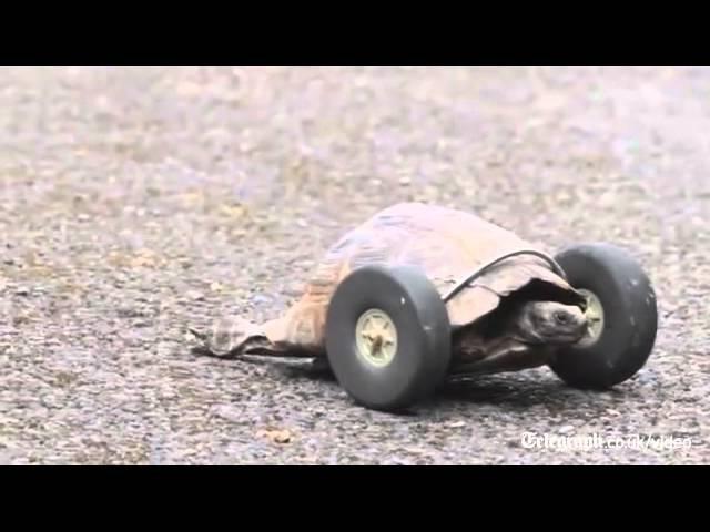 2 Ayağını Kaybeden Kaplumbağa Hayata Bakın Nasıl Tutundu