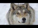 Весьегонская волчица (Фильм, драма, приключения, мелодрама, 2004)