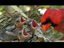 HD Northern cardinals feeding baby birds FYV 1080 HD