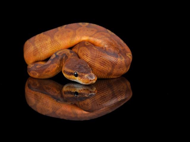 Snake Bytes TV - Cool Baby Ball Pythons! SnakeBytesTV