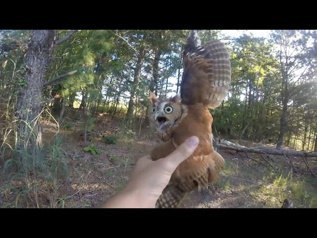 Rescuing a screech owl tangled in fishing line, New Jersey - 09062015