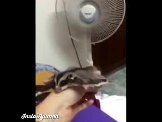 Сумчатая летяга и вентилятор (vk.com/instatyumen)