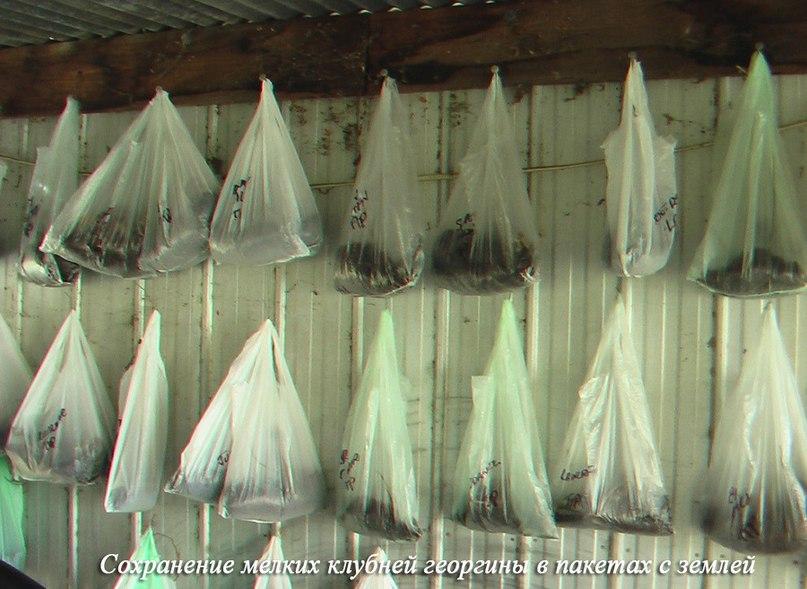 Как сохранить мелкие клубни георгинов-георгины в пакете с землей или мхом
