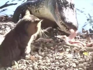 СМЕХ и МЕХ .Кот замочил крокодила.