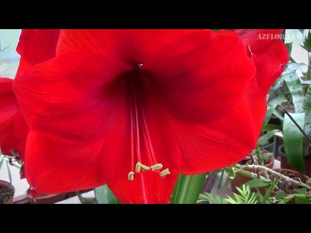 Опыление Гиппеаструма: семенное размножение, сбор семян