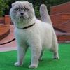 Шотландские  котята, вислоухий кот, вязка кошек
