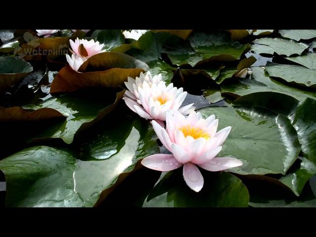 Водяная лилия Карнея в питомнике Waterlilia