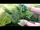 Размножение можжевельника вегетативным способом. Часть 2