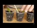 Вегетативное размножение фуксий