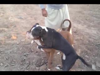 Собачьи бои гуль терьер vs питбуль Дизель (питостаф)
