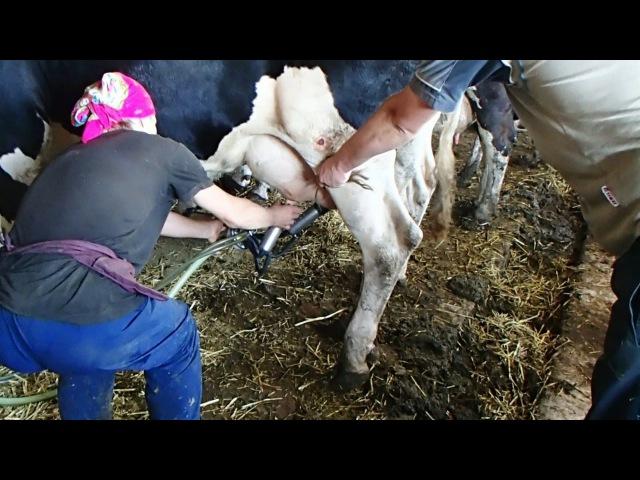 Роди у корови фото 2 фотография