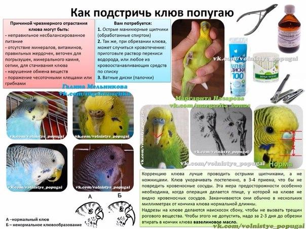 Как подрезать клюв волнистому попугаю