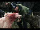 Собачий кровавый бой 2015 Алабай vs Алабай
