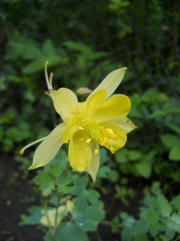 Капуста зацвела желтыми цветами