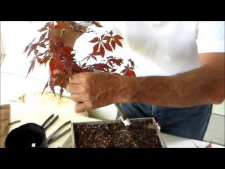 Bonsai with Merv 5 14 14 Japanese Maple pt 2
