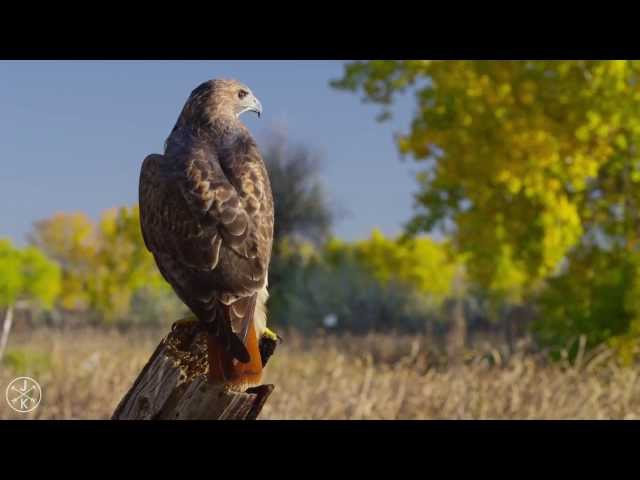 BIRDS OF PREY 4K (ULTRA HD) 60fps