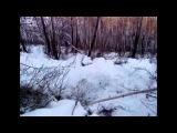Охота на медведя в сибирской тайге, охота на медведя в берлоге с лайками
