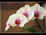 Как правильно поливать комнатную орхидею