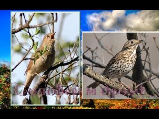 Пение птиц : Южный соловей и Певчий дрозд в дуэте. Relax.