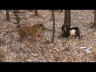 Козел Тимур и тигр Амур! Game tiger and goat