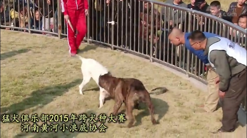 Собачьи бои турнир в Китае 2015 аргентинский дог vs канарский дог