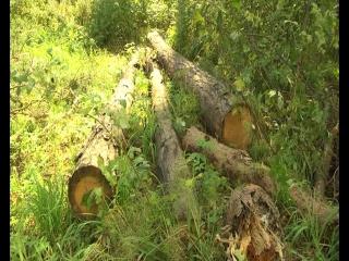 Черных лесорубов задержали в Колыванском районе. Злостные нарушители вывезли  почти 20 кубических метров красного леса.