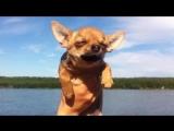 собачка Чихуахуа представляет что плывет!