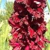 Гладиолусы. Садовые цветы