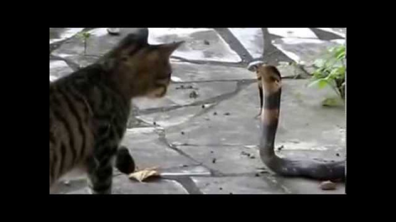 Кот против змеи Кобры