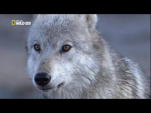 Восхождение чёрного волка HD National Geographic