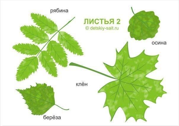 листья деревьев фото и названия