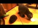 Як кіт може використовувати їжака