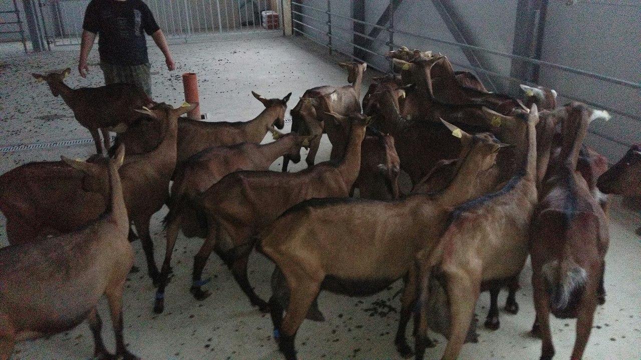 ограждения для коз