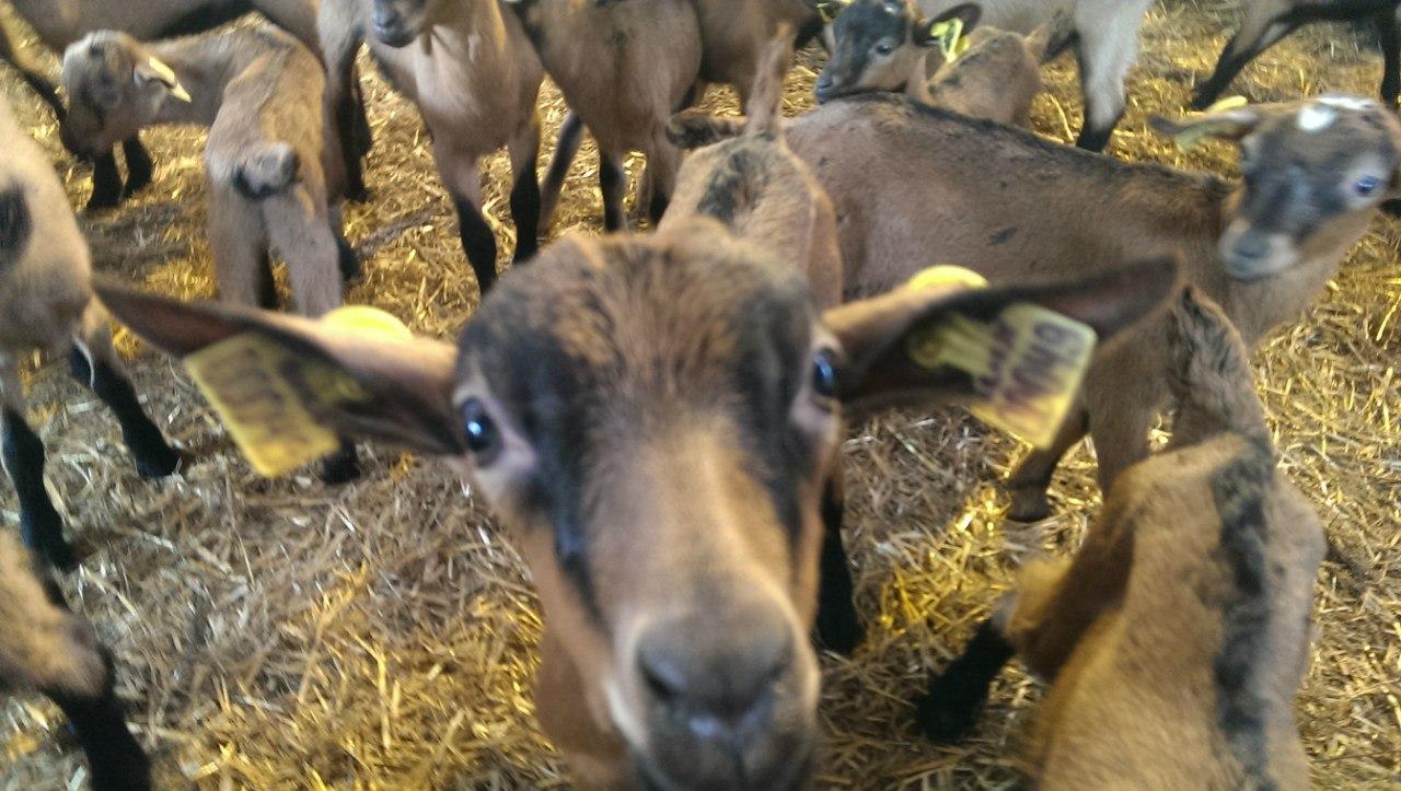 идентификация коз