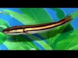 Аквариумная рыбка - Змееголов красный.
