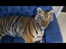 Очень милый и ласковый домашний Тигр